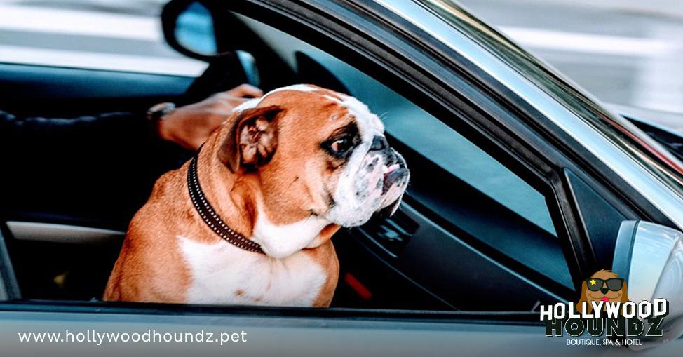 Buldog traveling by car